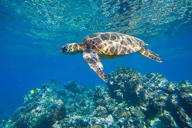 Sea Turtle Belize Hol Chan Reserve