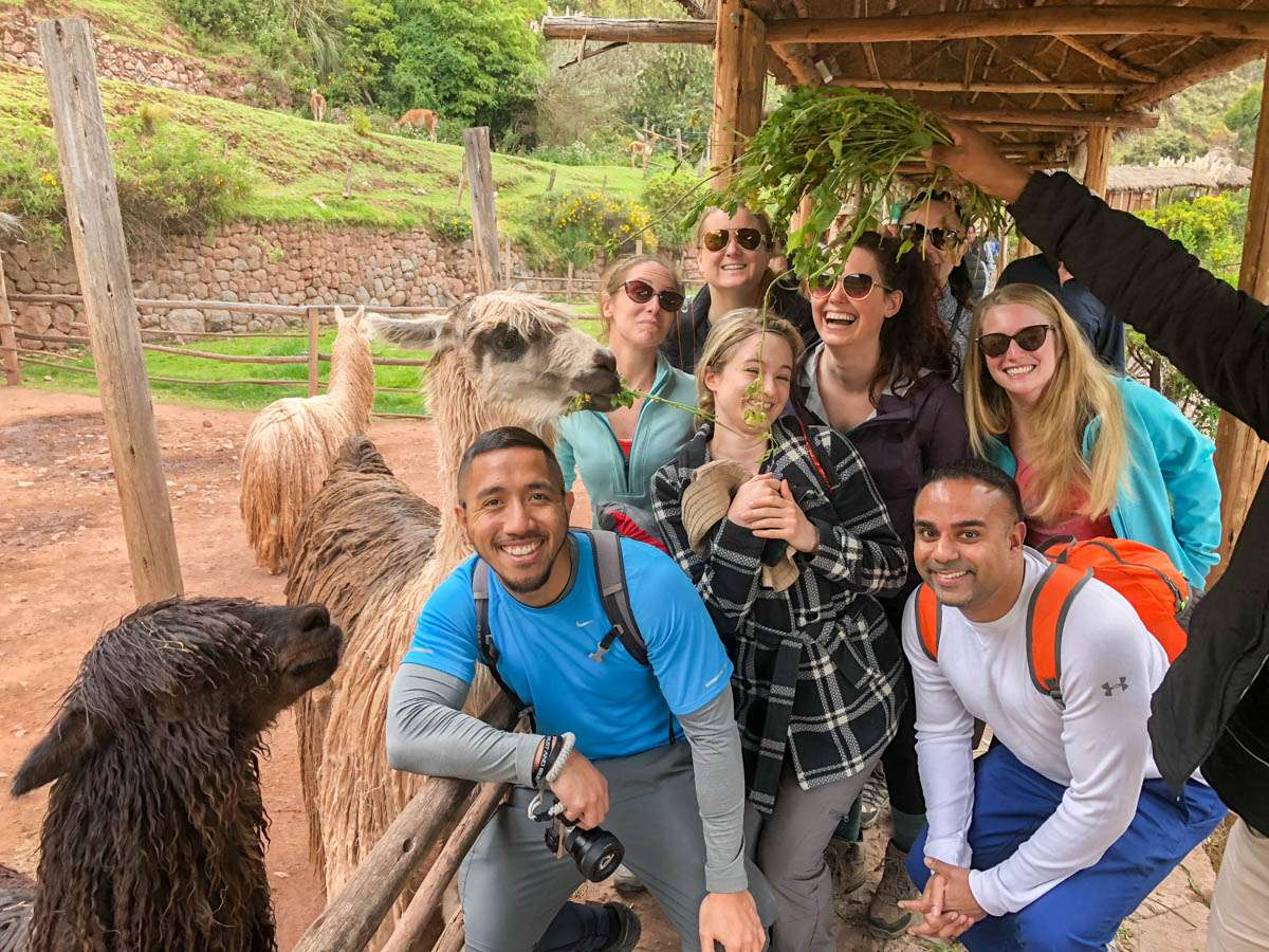 Group llama feeding in Peru