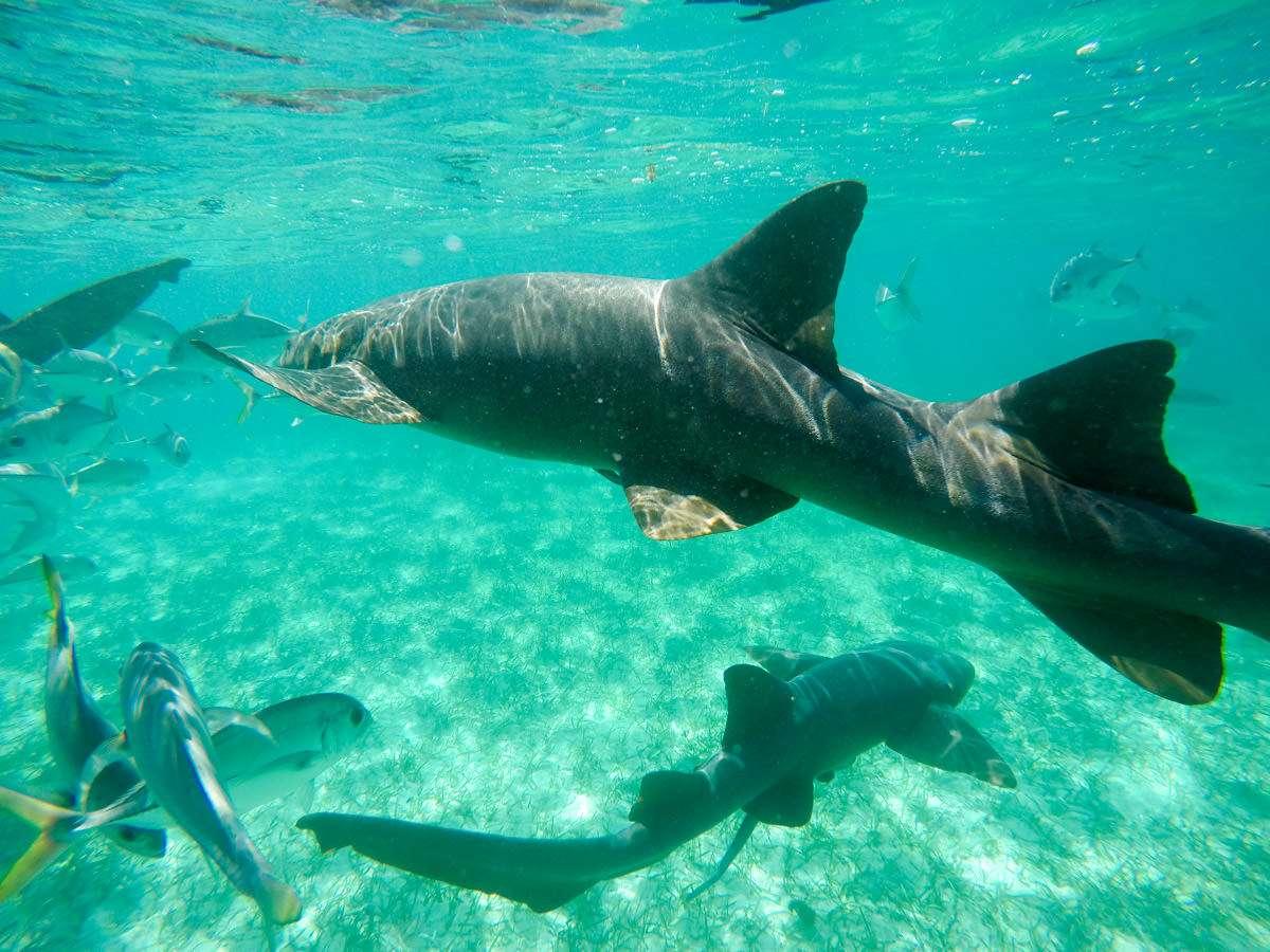 Up close with a nurse shark